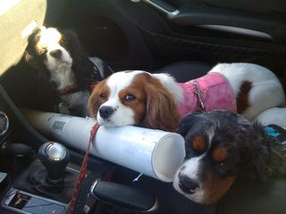 cavaliers in the car