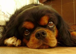 black and tan cavalier, Mia Sturgeon