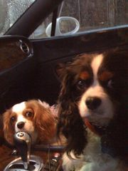 cavalier king charles rescue