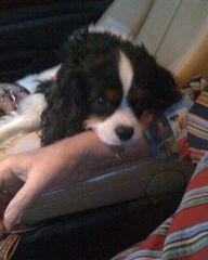 rescue cavalier king charles spaniel
