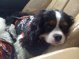 rescue cavalier king charles