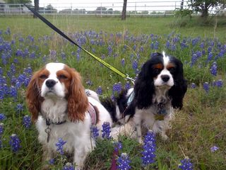 willie and dixe in bluebonnets