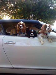052209 015 cavalier riding in car bentley gtc