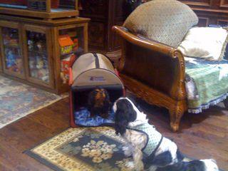 teddy cavalier king charles spaniel rescue