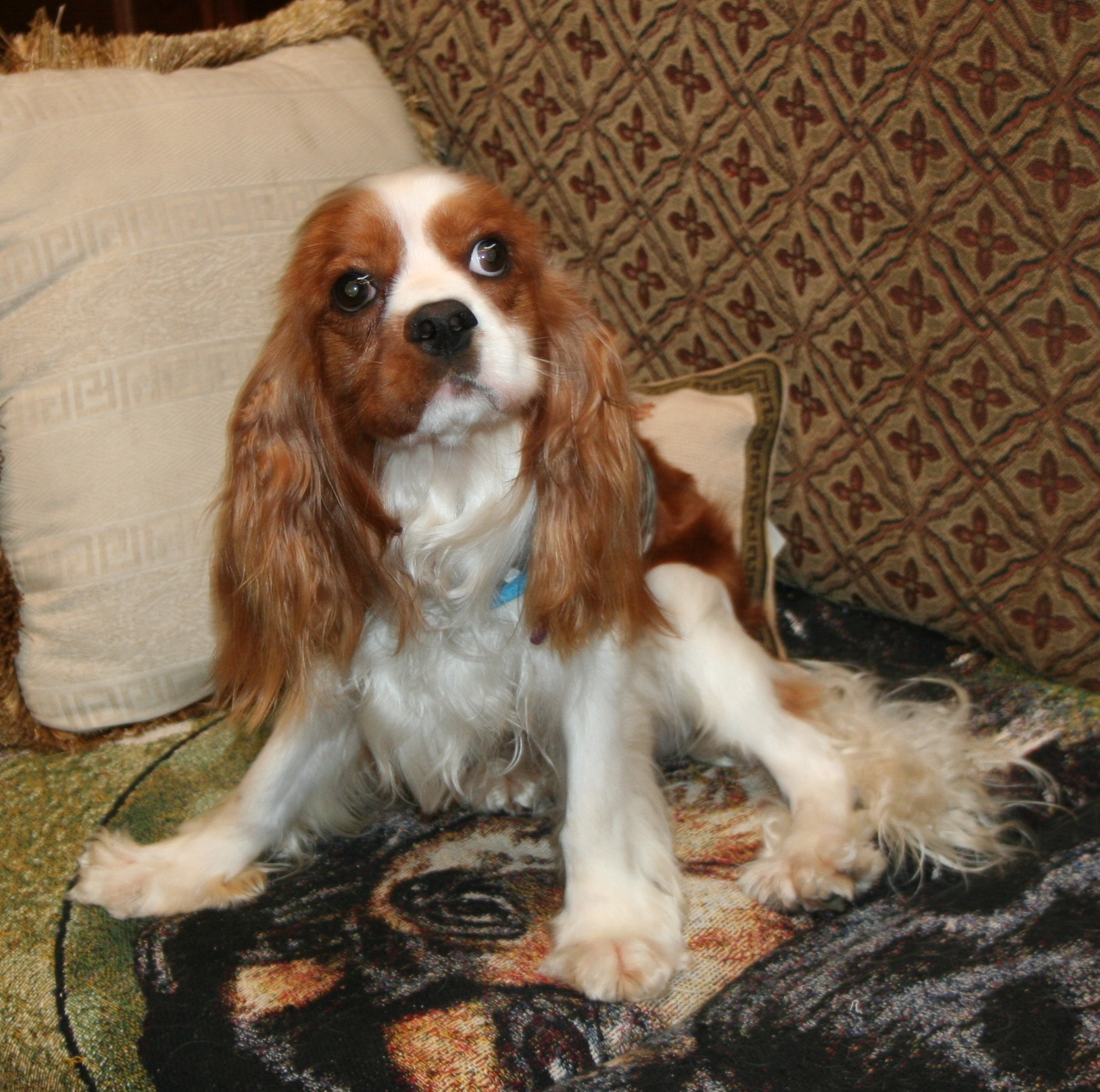 Cavalier King Charles Rescue   Spoiled Cavaliers - Part 2 - photo#2