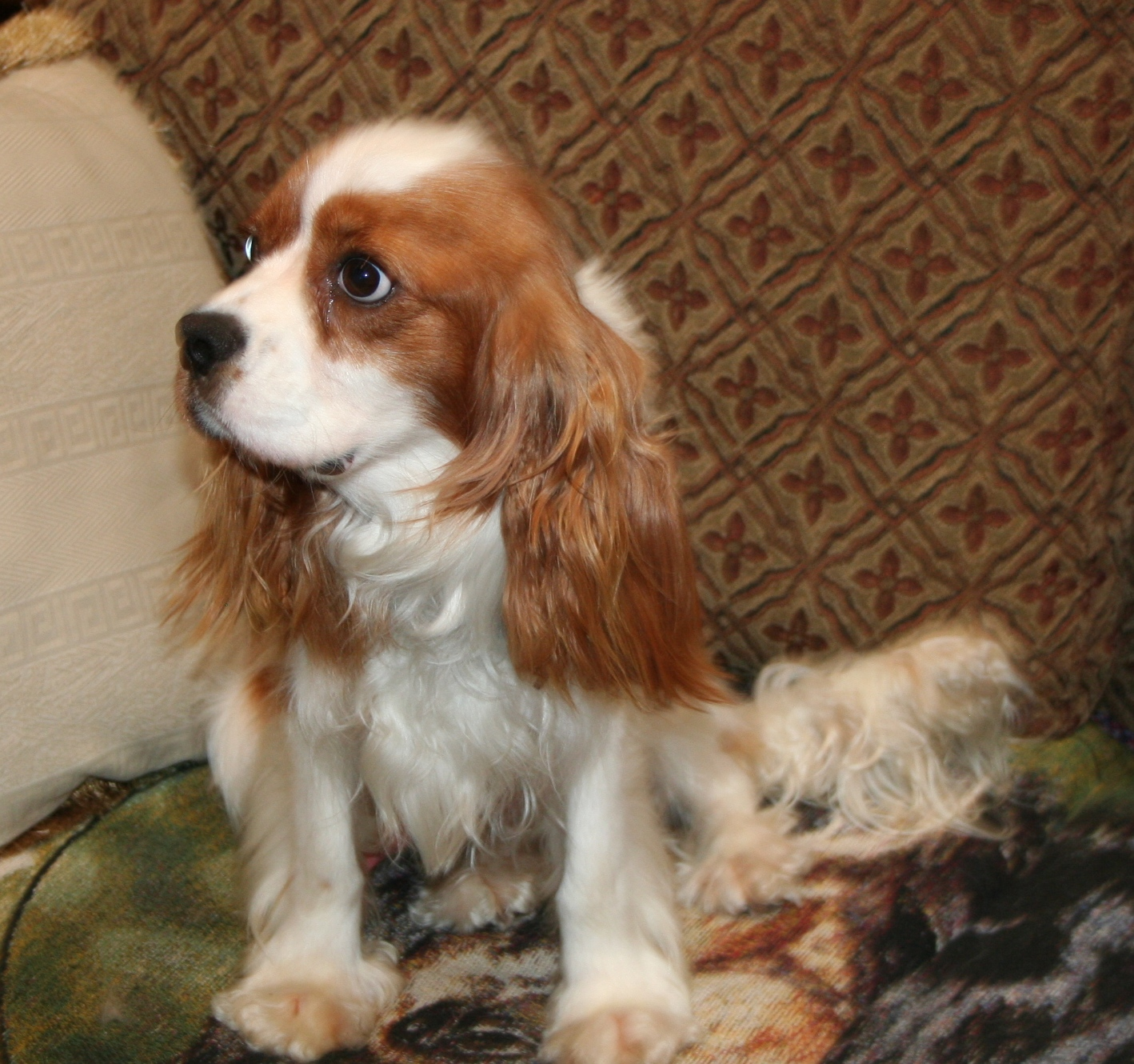 Cavalier King Charles Rescue   Spoiled Cavaliers - Part 2 - photo#9