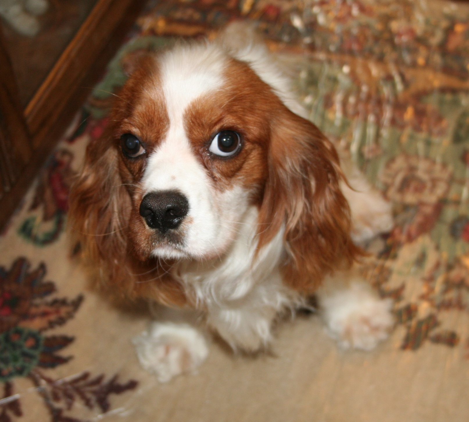 Cavalier King Charles Rescue   Spoiled Cavaliers - Part 2 - photo#12