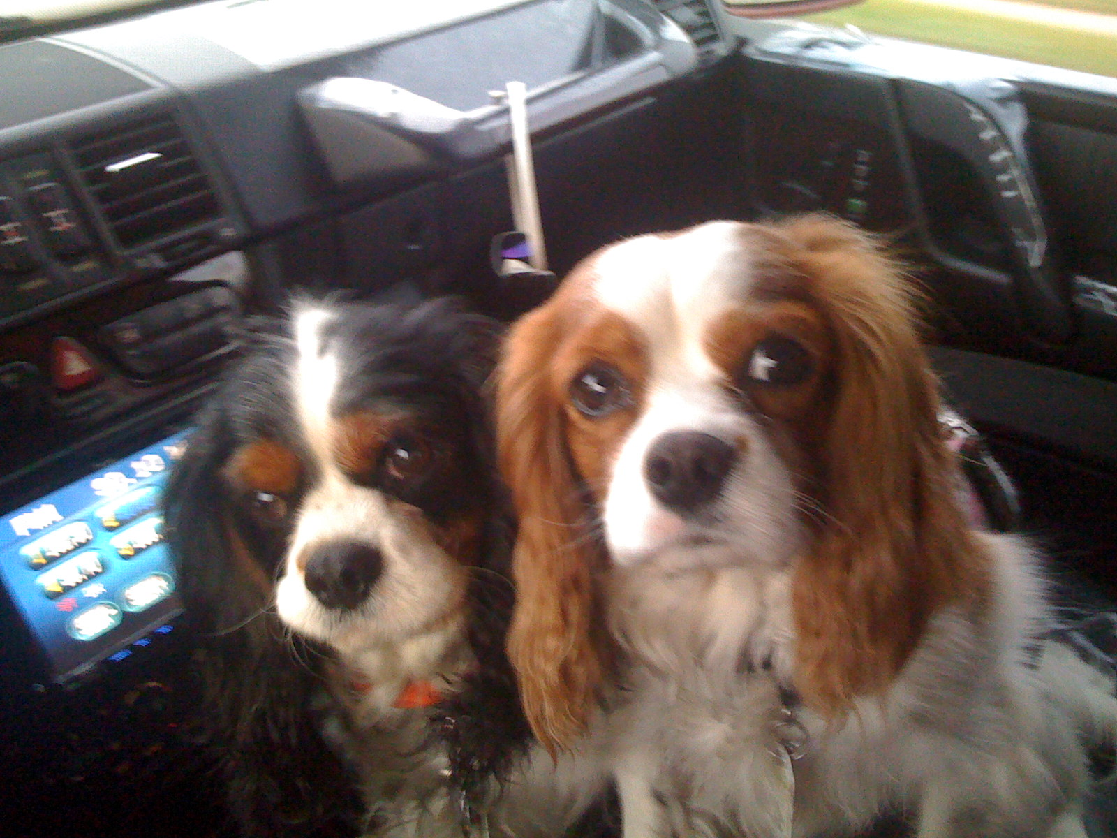 Cavalier King Charles Spaniel Rescue   Spoiled Cavaliers - photo#8