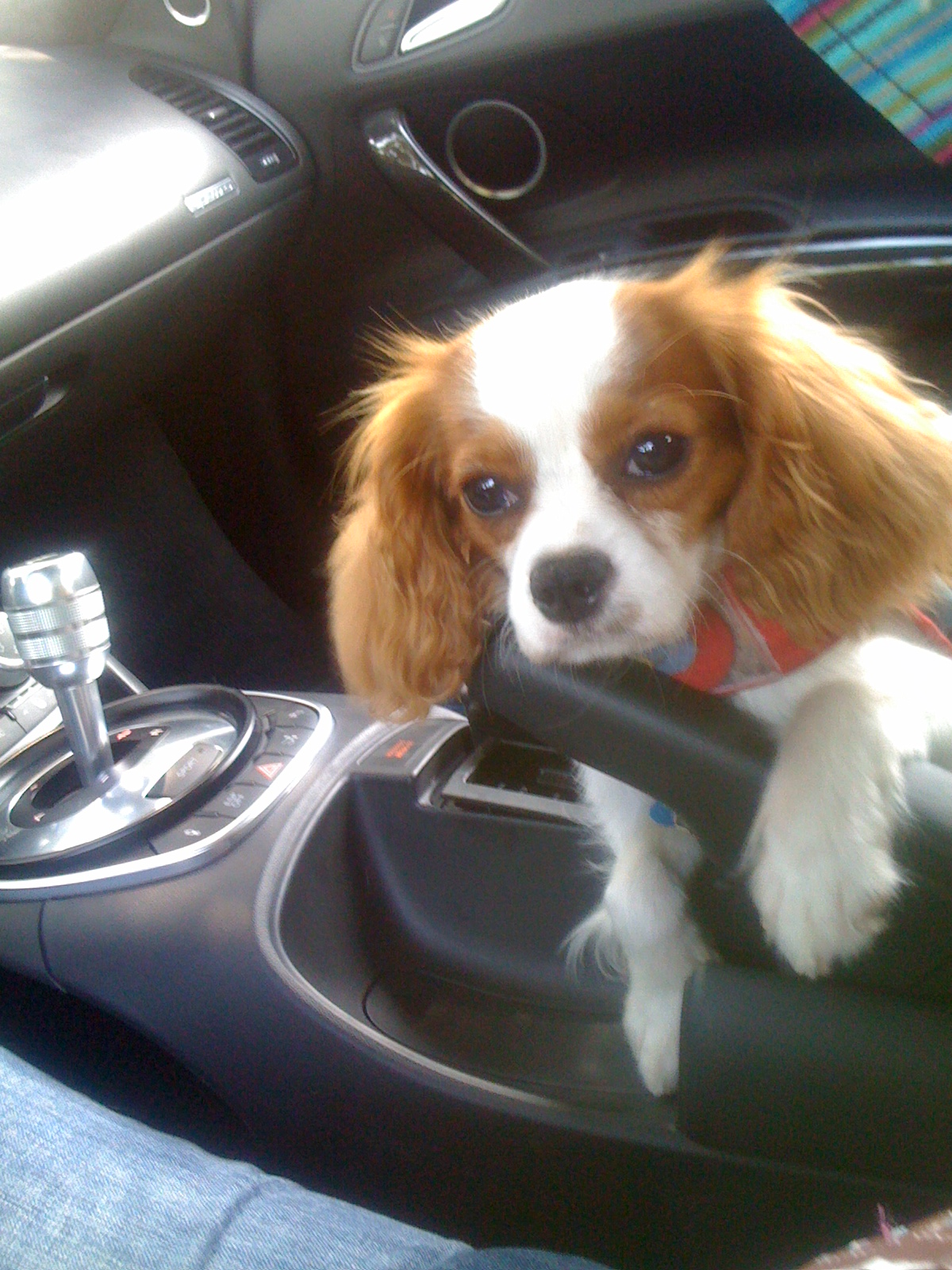 Cavalier King Charles Spaniel Rescue   Spoiled Cavaliers - photo#16