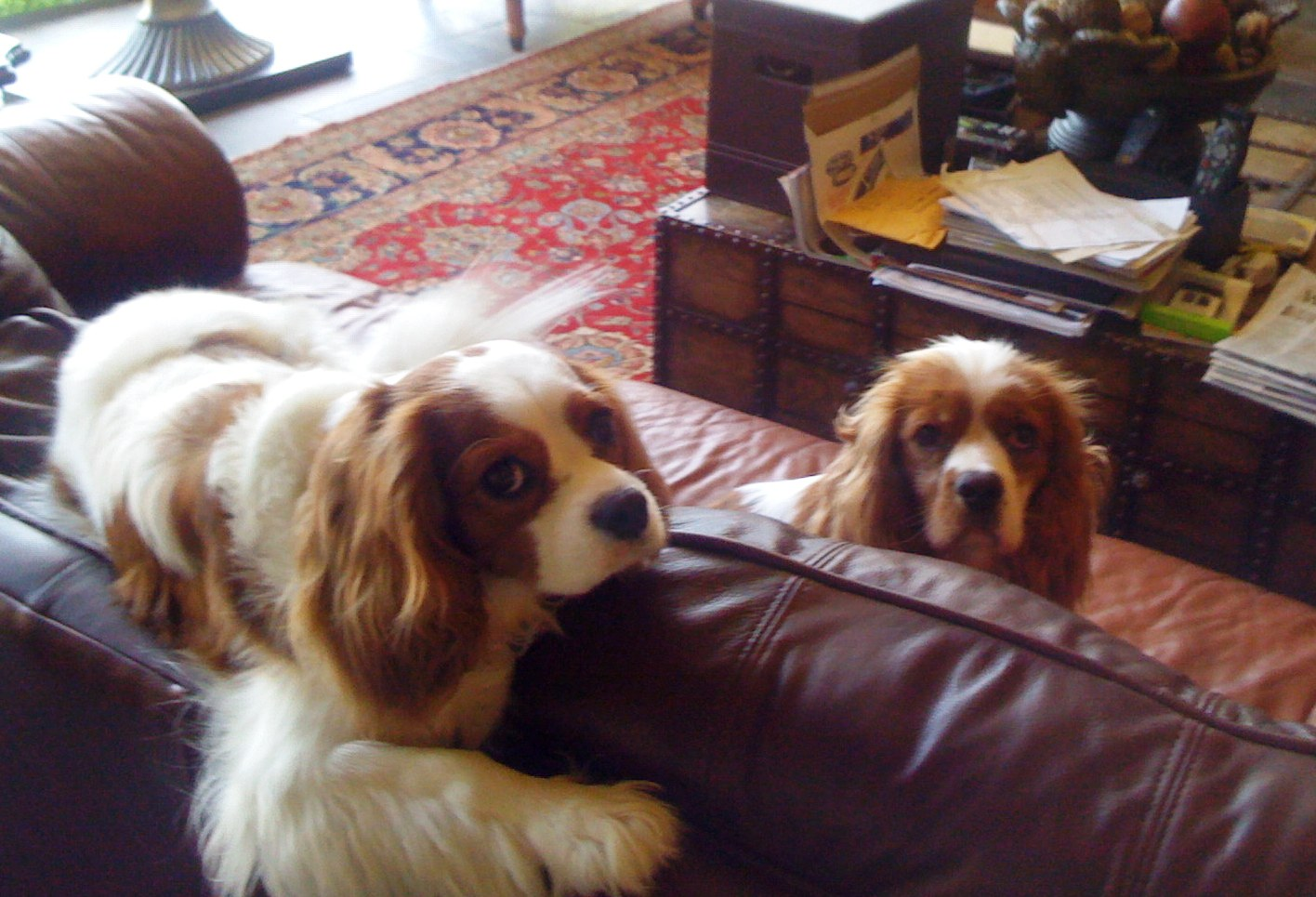 Cavalier King Charles Spaniel Rescue   Spoiled Cavaliers - photo#39