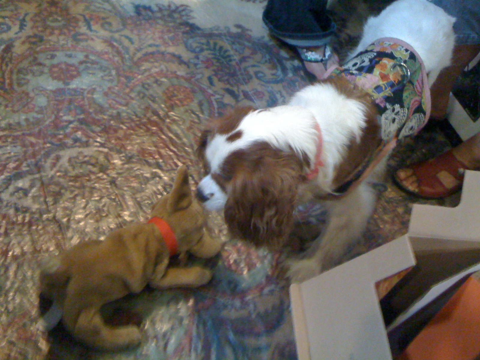 Daddy S Birthday Amp Humping Dog Spoiled Cavaliers